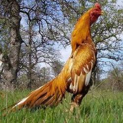 اخبار-انواع نژاد مرغ ایرانی